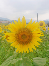 夏のお花といえば向日葵♪