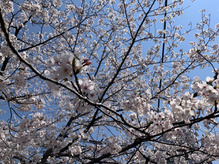 ( 桜 )