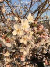 桜(^O^)