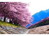 河津桜Part2